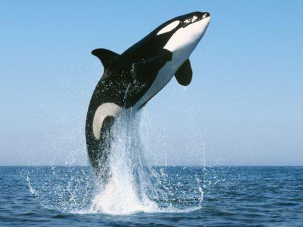 Mơ thấy cá voi là điềm hên hay xui, đánh con số mấy?