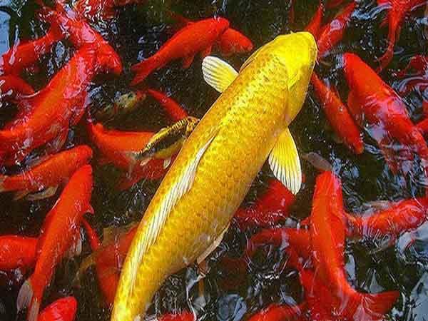 Nằm mơ thấy cá chép đánh con gì dễ trúng, báo hiệu điềm gì