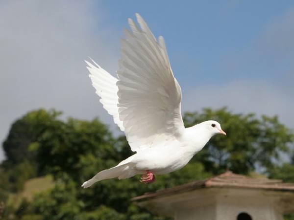 Mơ thấy chim bồ câu là điềm gì? Đánh con gì vào bờ?