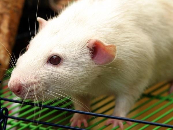 Nằm mơ thấy chuột bạch có điềm báo gì tốt hay xấu